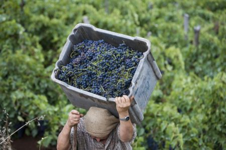 harvesting-grapes-in-vineyard-of-madeira-wine-company